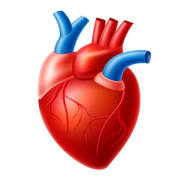 Realistica struttura anatomica del cuore. organo del sistema di circolazione sanguigna, muscolo cardiaco con aorta, vene. cuore umano per farmaci, farmacia e design educativo. Vettore Premium