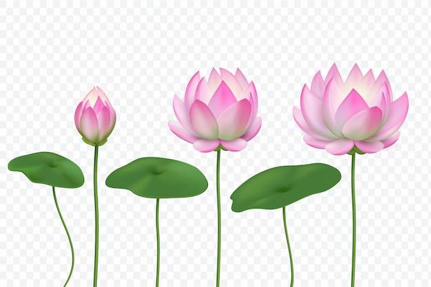 Fiori di loto rosa realistici Vettore Premium