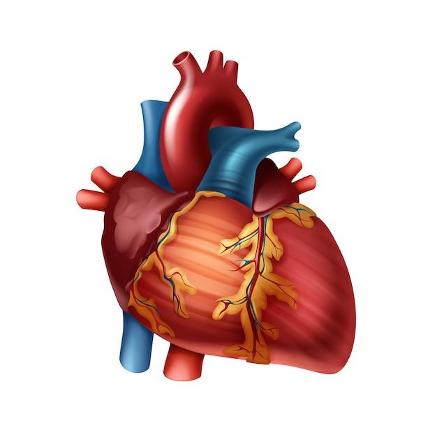 Rosso cuore umano sano con arterie vicino vista frontale isolato su sfondo bianco Vettore Premium
