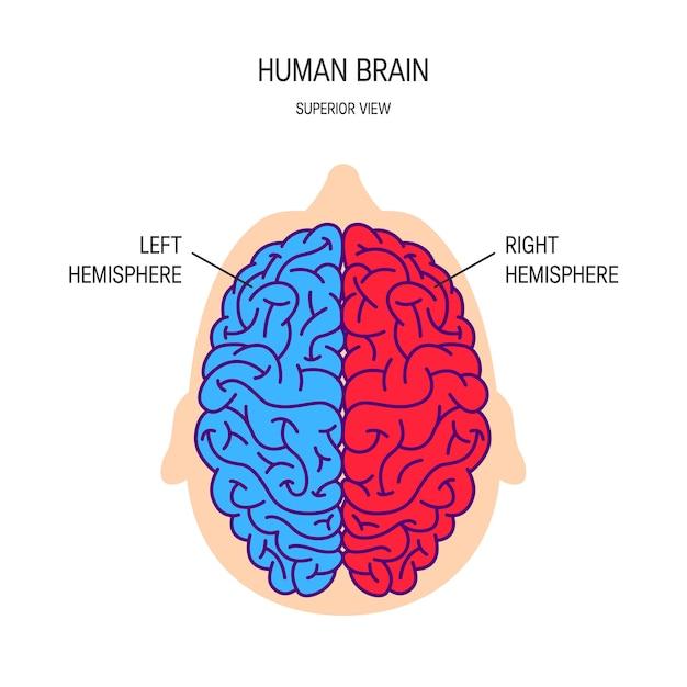 Emisferi destro e sinistro di un cervello in stile piatto Vettore Premium