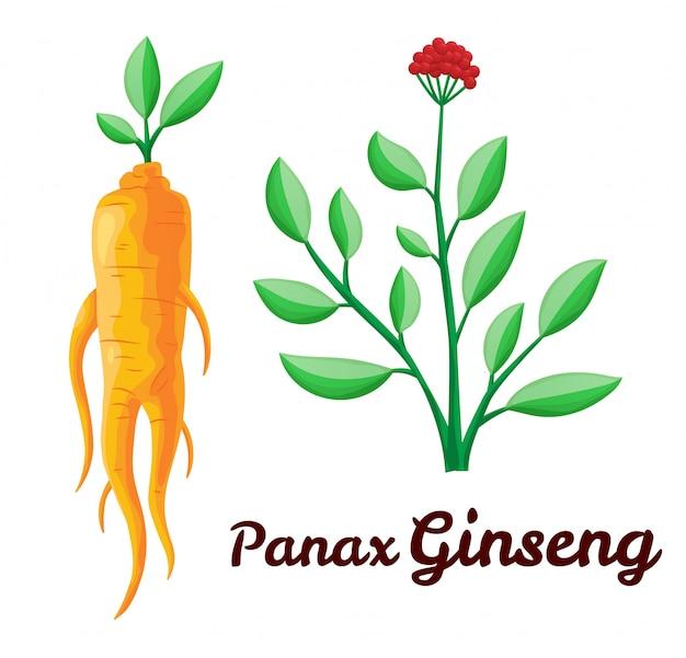 Radice e foglie di panax ginseng. uno stile di vita sano. per la medicina tradizionale, il giardinaggio. gli additivi biologici lo sono. illustrazione piatta colorata di piante medicinali. isolato su sfondo bianco Vettore Premium