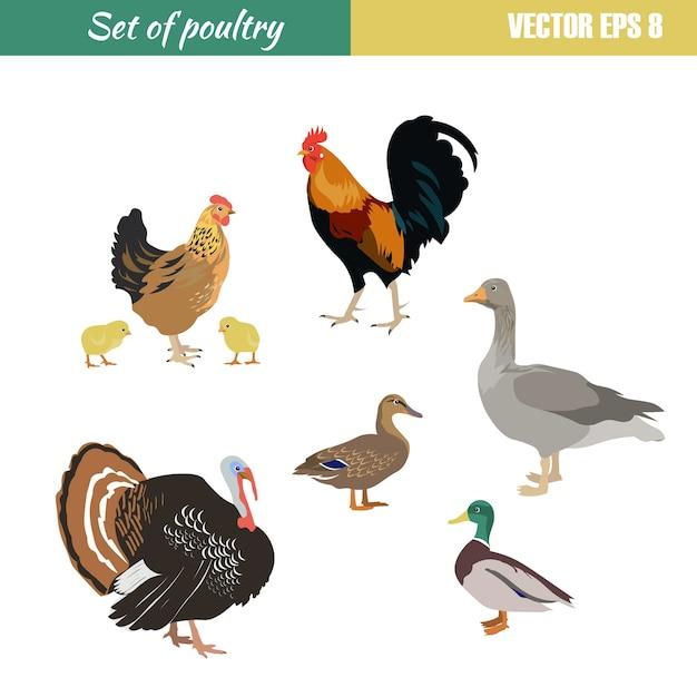 Set di diversi pollame Vettore Premium