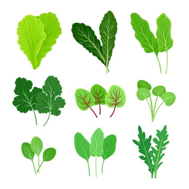 Set di diversi tipi di foglie per insalata Vettore Premium