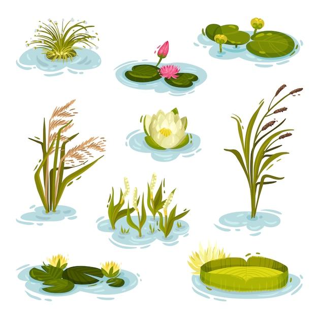 Serie di immagini di ninfee, canna, canna su acqua. illustrazione su sfondo bianco. Vettore Premium