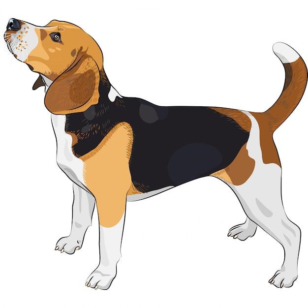 Cane di razza razza beagle Vettore Premium