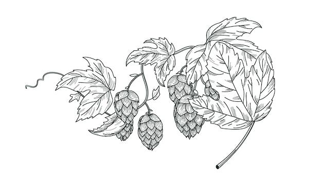 Schizzo della pianta del luppolo, ramo di luppolo con foglie e coni di luppolo in stile incisione. composizione isolata vettore di luppolo. Vettore Premium