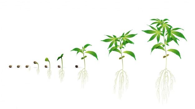 Fasi della germinazione dei semi di cannabis dai semi ai germogli, la stagione di crescita della cannabis, fasi di marijuana, illustrazione realistica isolata su uno sfondo bianco per la stampa Vettore Premium
