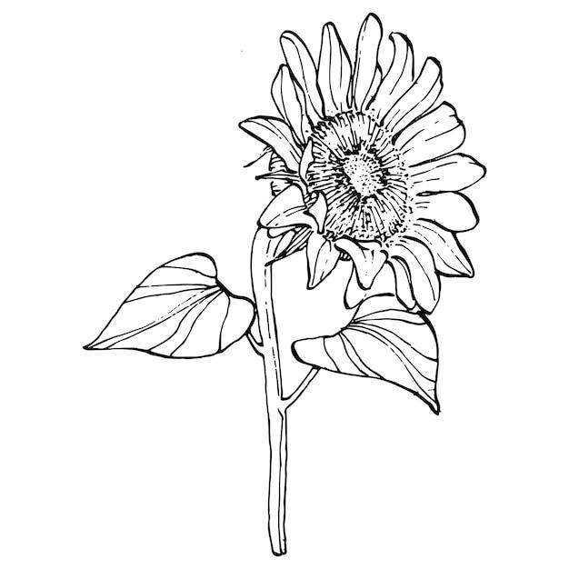 Fiore di girasole. fiore botanico floreale. elemento di illustrazione isolato. disegno a mano fiori selvatici per sfondo, trama, motivo wrapper, cornice o bordo. Vettore Premium