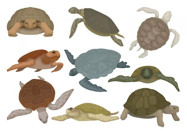 Le tartarughe in varie viste hanno messo, illustrazione degli animali del rettile della tartaruga su un fondo bianco Vettore Premium