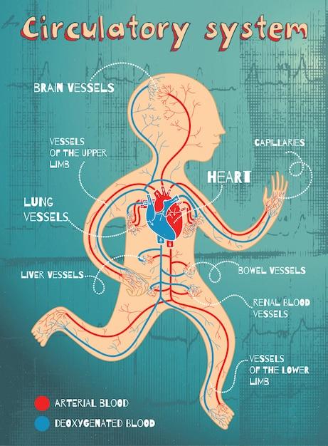 Vector l'illustrazione del fumetto dell'apparato circolatorio umano per i bambini Vettore Premium
