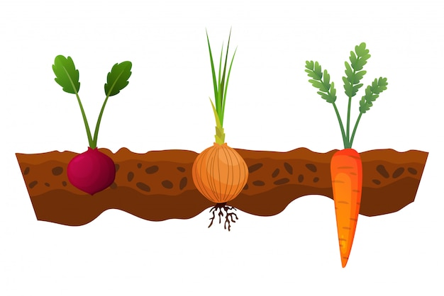 Orticoltura nel terreno. una linea di cipolla, carota. piante che mostrano la struttura della radice sotto il livello del suolo. alimenti biologici e sani. banner di orto. poster con verdure di radice Vettore Premium
