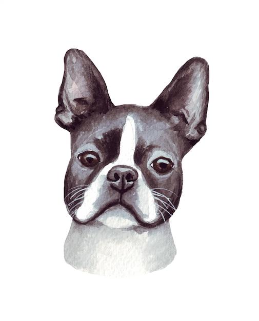 Illustrazione dell'acquerello di un cane divertente. razza popolare. cane boston terrier. carattere fatto a mano isolato su bianco Vettore Premium