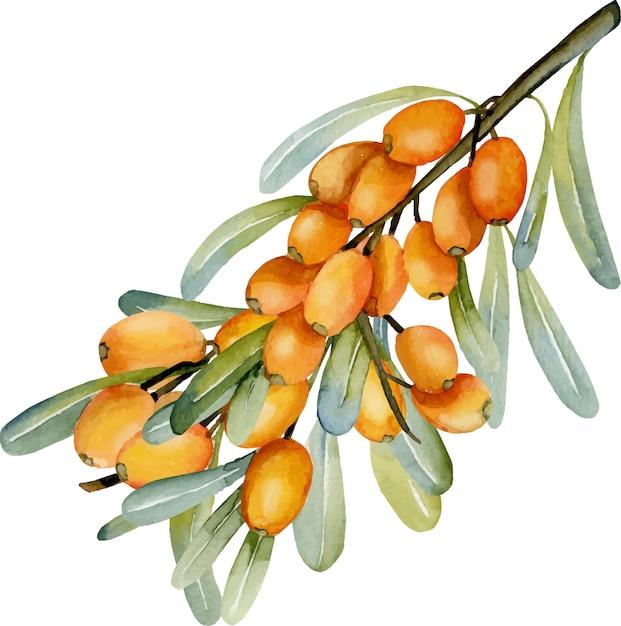 Illustrazione del ramo di olivello spinoso dell'acquerello Vettore Premium