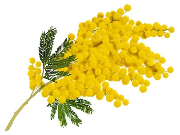 Fiore giallo ramo di mimosa. Vettore Premium