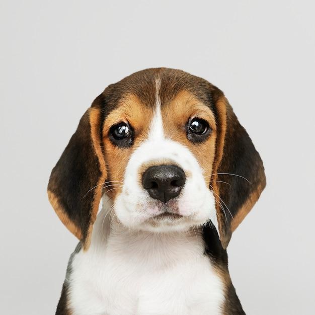 Adorable beagle cachorro solo retrato PSD gratuito