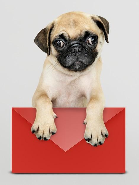 Adorable pug cachorro con una maqueta de sobre rojo PSD gratuito