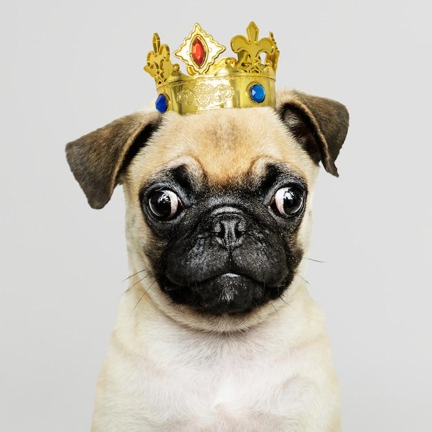 Cachorro de pug con corona PSD gratuito
