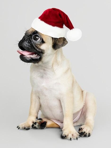 Cucciolo adorabile del carlino che porta un cappello di natale Psd Gratuite