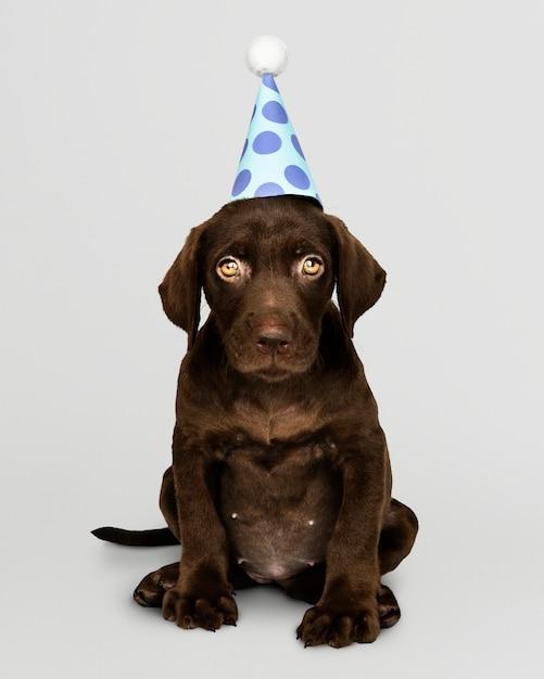 Cucciolo adorabile di labrador retriever che porta un cappello del partito Psd Gratuite
