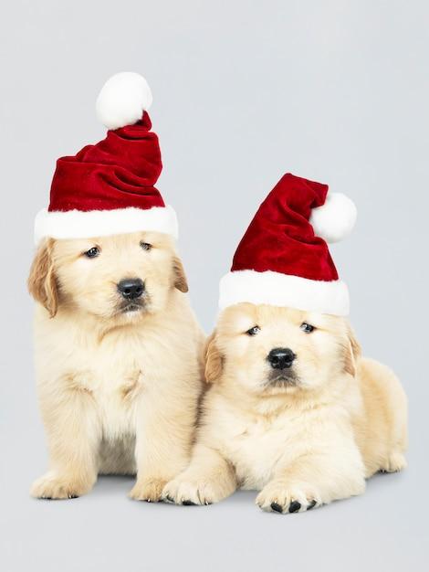 Due cuccioli di golden retriever che indossano cappelli di santa Psd Gratuite
