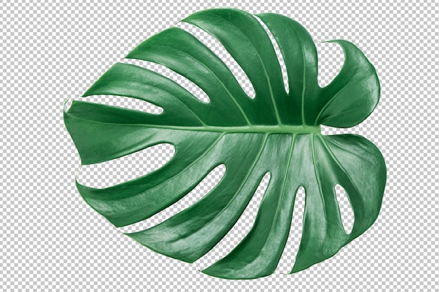 Foglia verde di monstera su bianco isolato. foglie tropicali Psd Premium
