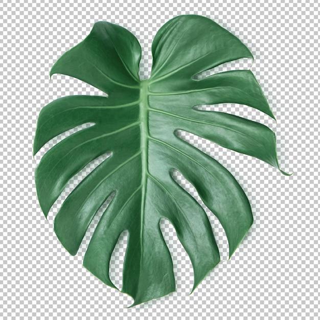 Groen monstera-blad op geïsoleerde transparantie. tropische bladeren Premium Psd