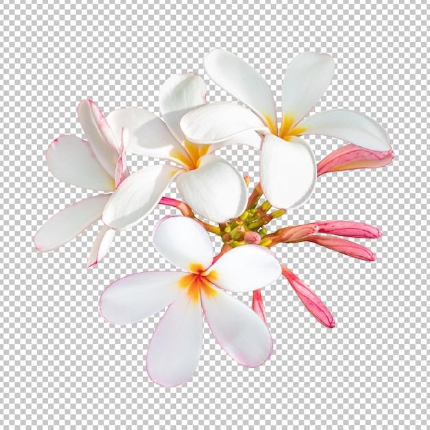 La plumeria bianco-rosa del mazzo fiorisce sul fondo isolato della trasparenza. Psd Premium