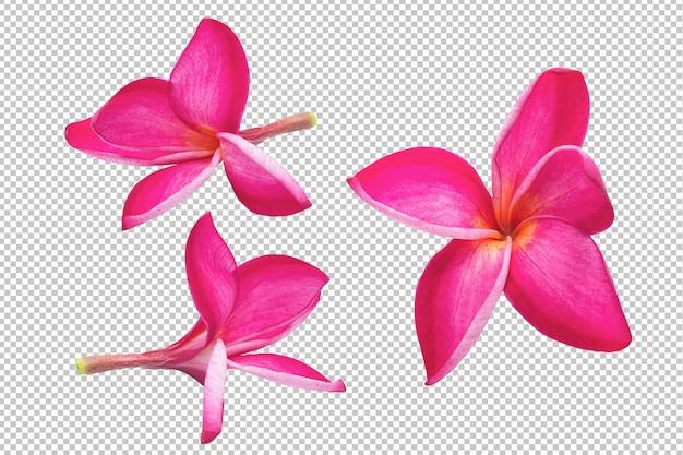 Plumeria rosa flores transparencia. floral PSD Premium