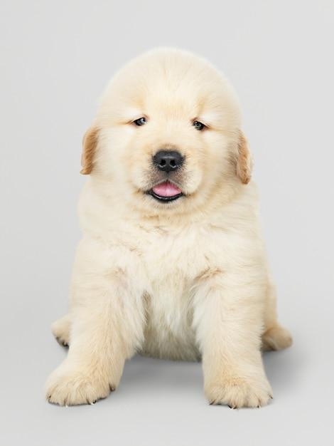 Portret van een schattig golden retriever-puppy Gratis Psd