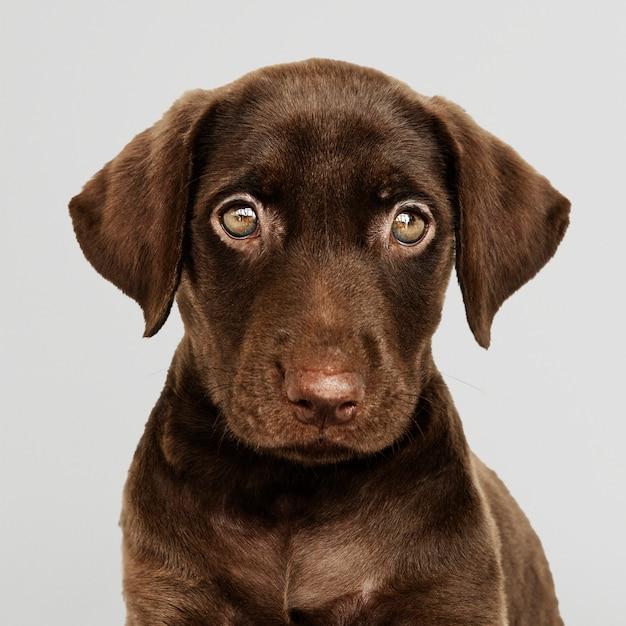 Ritratto adorabile del cioccolato labrador retriever Psd Gratuite