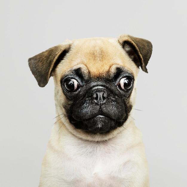 Ritratto solitario del cucciolo adorabile del carlino Psd Gratuite
