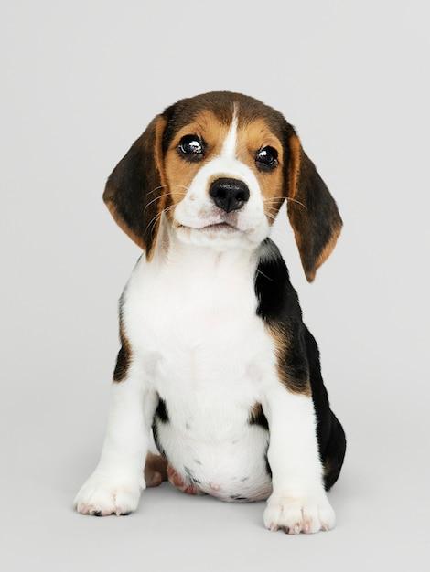 Adorable portrait solo de chiot beagle Psd gratuit