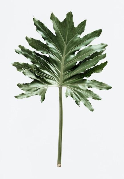 Feuille De Xanadu Philodendron Sur Fond Blanc Psd gratuit
