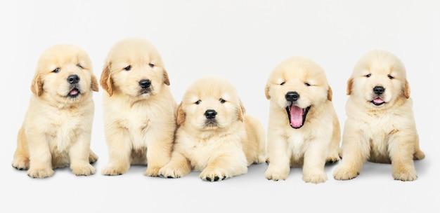 Portrait de cinq adorables chiots golden retriever Psd gratuit