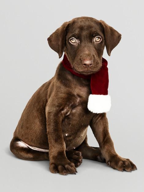 Portrait D'un Mignon Labrador Retriever Portant Une écharpe De Noël Psd gratuit