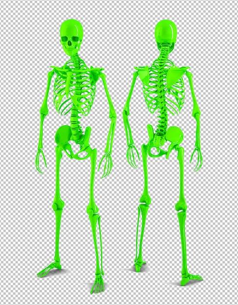 Vue Postérieure Et Antérieure Du Squelette Humain En Taille Réelle PSD Premium