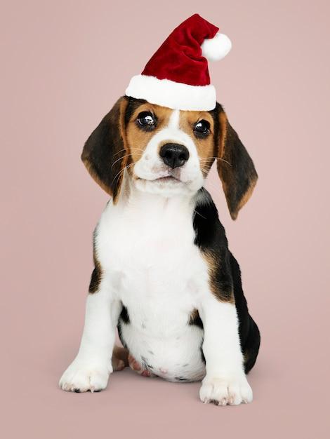 Cachorro beagle adorável vestindo um chapéu de papai noel Psd grátis