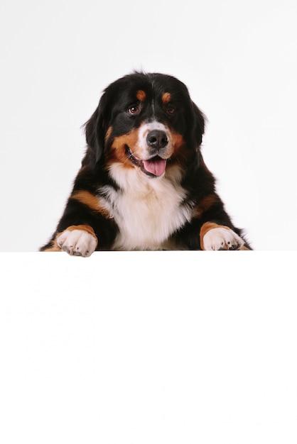 Cão de montanha de bernese com banner em branco Psd Premium