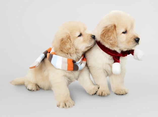 Dois, retriever dourado, filhotes cachorro, desgastar, scarves Psd grátis