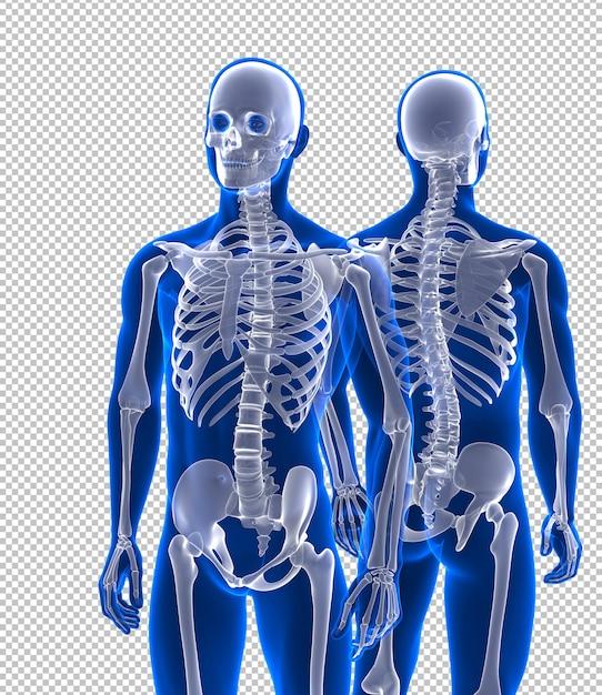 Esqueleto humano próximo vista frontal e traseira Psd Premium