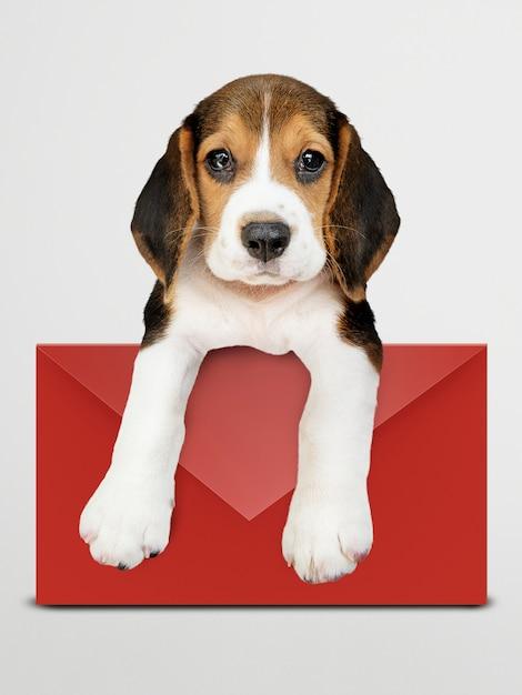 Filhote de cachorro adorável beagle com uma maquete de envelope vermelho Psd grátis