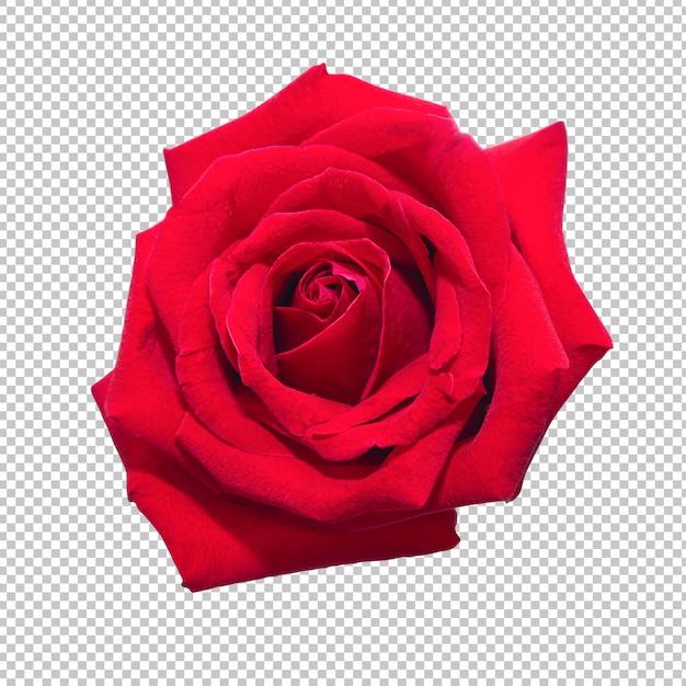 Flores da rosa do vermelho na transparência isolada. floral. Psd Premium