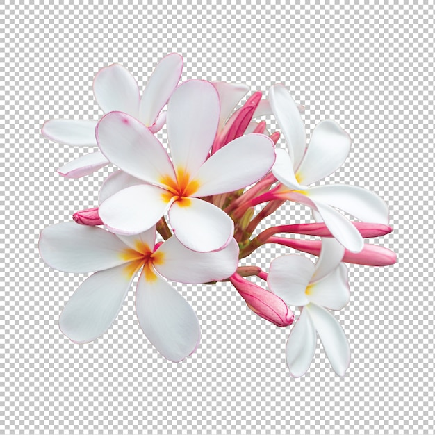 Flores de plumeria buquê branco-rosa isoladas em transparente Psd Premium
