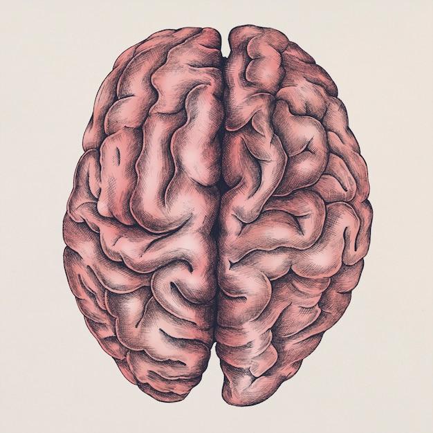 Ilustração do cérebro Psd grátis