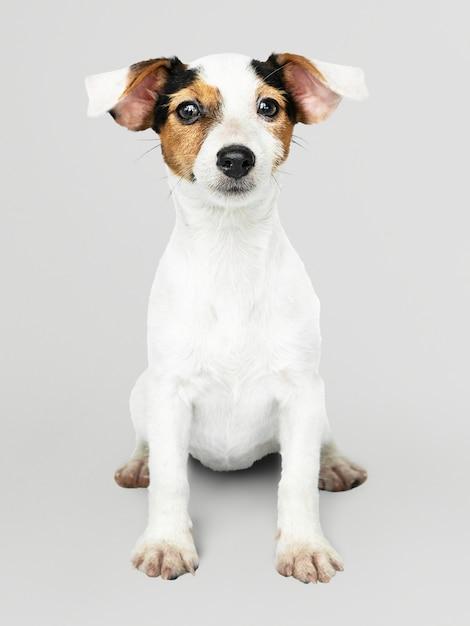 Retrato adorável do filhote de cachorro de jack russell retriever Psd grátis