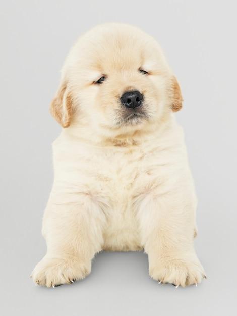 Retrato, de, um, adorável, retriever dourado, filhote cachorro Psd grátis