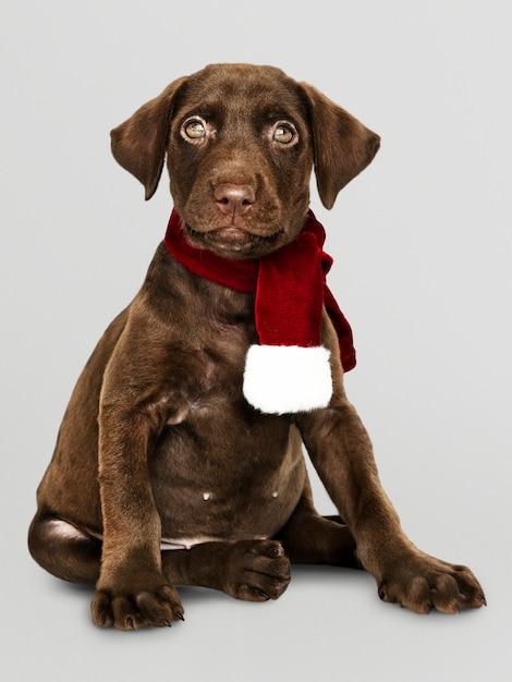 Retrato, de, um, cute, retriever labrador, desgastar, um, echarpe natal Psd grátis