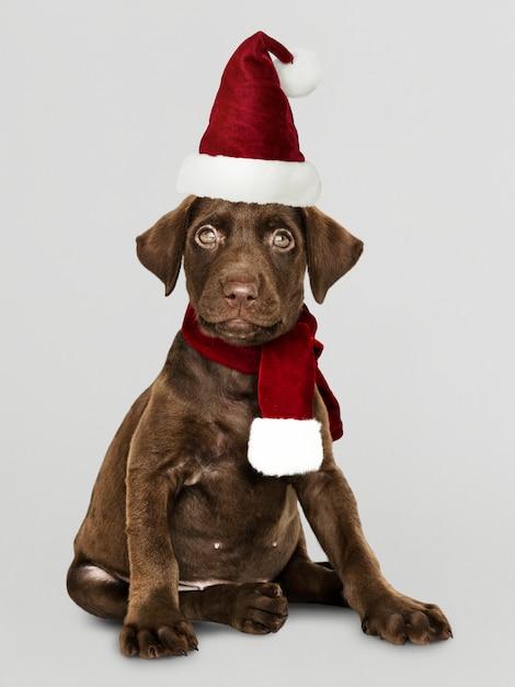 Retrato, de, um, cute, retriever labrador, filhote cachorro, desgastar, um, chapéu santa Psd grátis