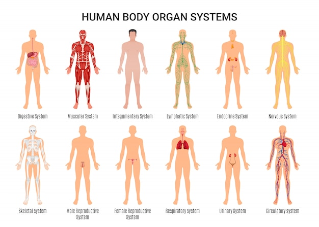 Affiche Du Personnage De Human Body Organ Systems Vecteur gratuit