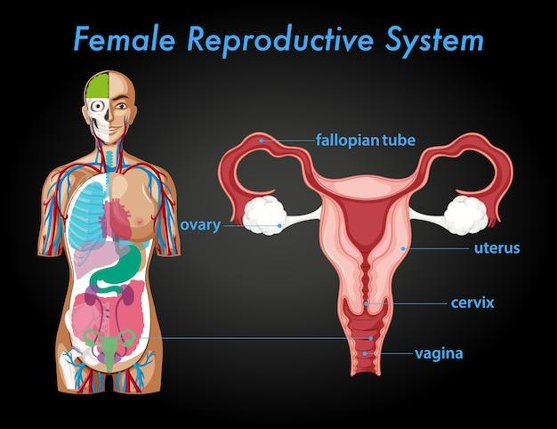 Affiche D'information Sur Le Système Reproducteur Féminin Vecteur gratuit